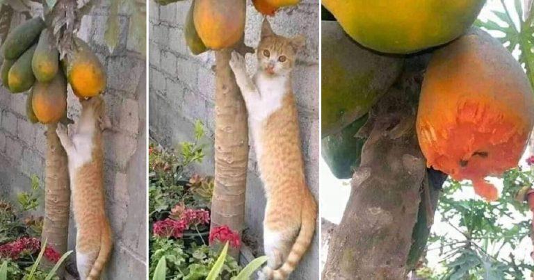 Cat Eats Papaya