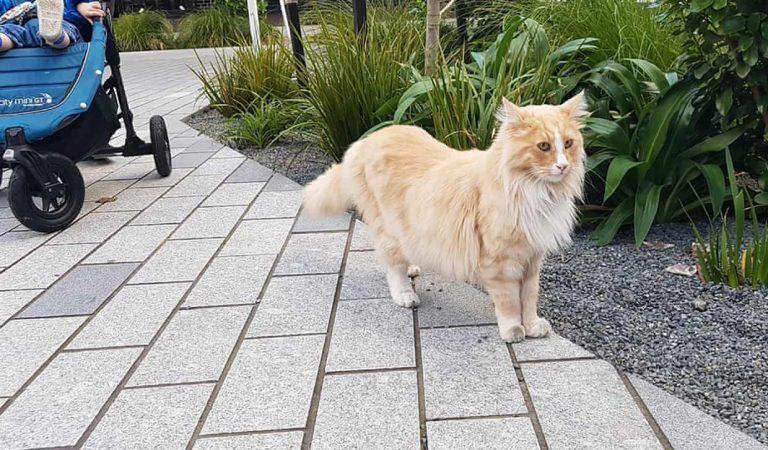 Adventurous Turkish Cat Roams Around the City, Becomes Local Celebrity